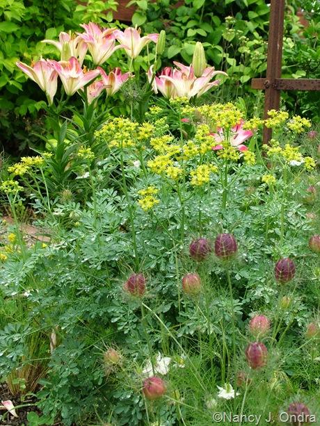 Ruta graveolens 'Harelquin' with Nigella damascena 'Cramer's Plum' and Lilium 'Lollipop'