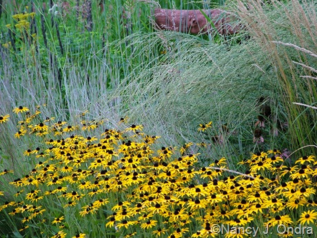 Rudbeckia fulgida var. fulgida with Schizachyrium scoparium 'The Blues' and Panicum amarum 'Dewey Blue' Aug 27 2009