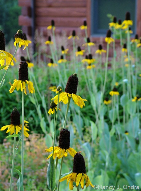 Rudbeckia maxima July 2011
