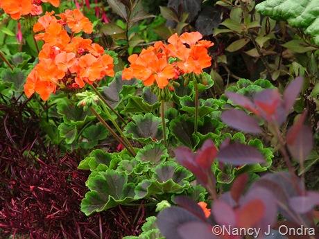 Pelargonium x hortorum 'Black Velvet Scarlet' July 2011