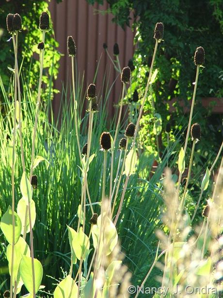 Rudbeckia maxima mid-August 2011