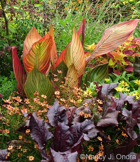 Canna 'Phaison' (Tropicanna) with Coreopsis 'Limerock Dream' and Beta vulgaris 'Bull's Blood' September 2011