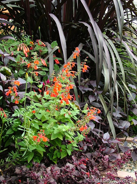 Pennisteum Vertigo ('Tift 8') with Salvia coccinea 'Lady in Red', Alternanthera 'Purple Knight', and Iresine 'Purple Lady' Sept 27 2011
