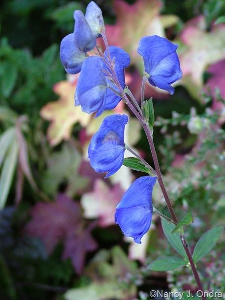 Aconitum carmichaelii Arendsii Group