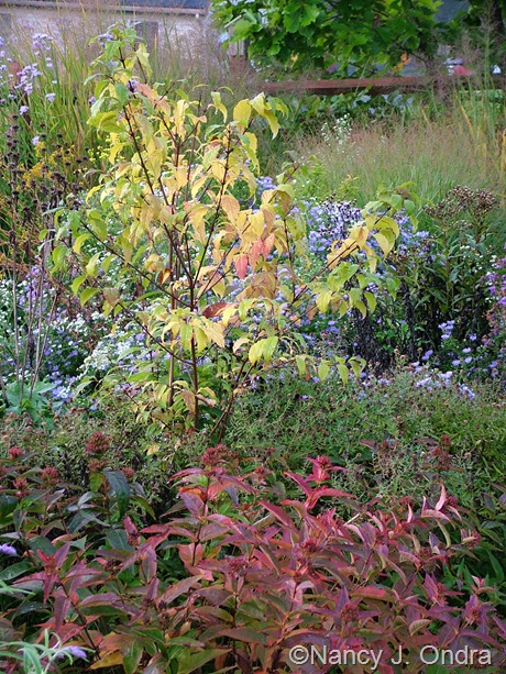 Callicarpa dichotoma 'Spring Gold' in fall color with Diervilla sessilifolia Oct 2011