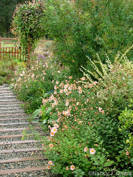 Chrysanthemum 'Sheffield Pink' along side path at Hayefield October 2011
