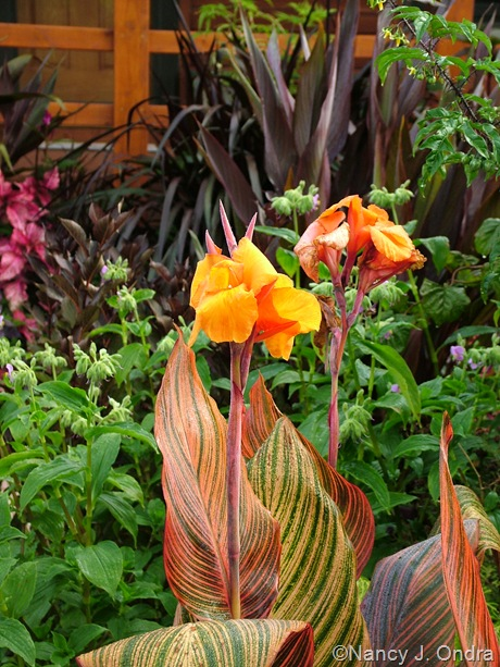 "Canna ""Phaison' (Tropicanna) October 2011"