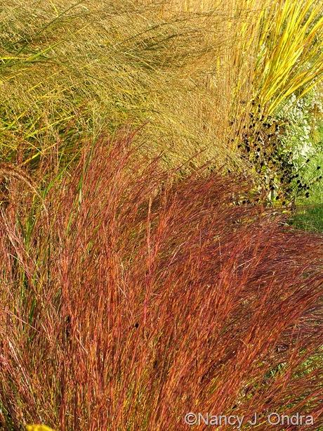 Schizachyrium scoparium 'The Blues' fall color Oct 2011