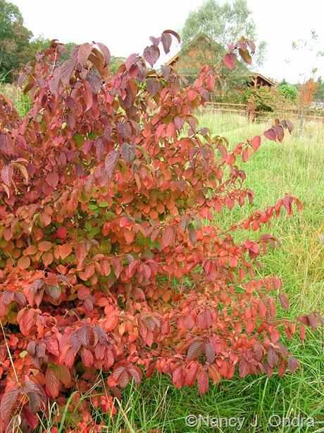 Viburnum plicatum fall color Oct 2011