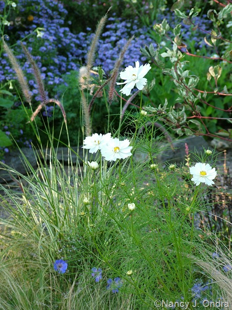 Cosmos bipinnatus 'Psyche White' with Pennisetum setaceum 'Sky Rocket' October 2011
