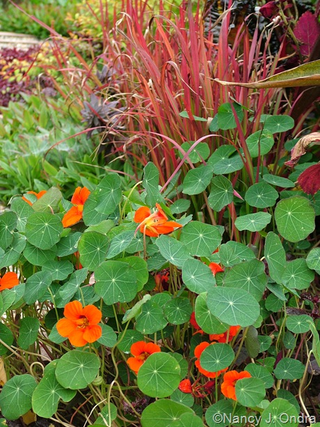 Tropaeolum majus with Imperata cylindrica 'Rubra' October 2011
