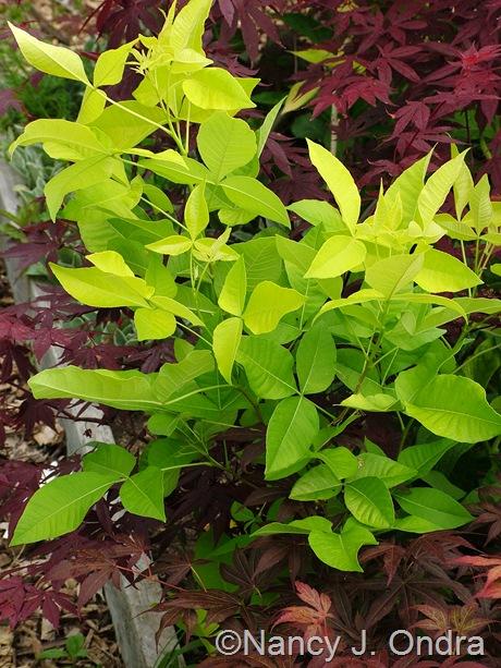 Ptelea trifoliata 'Aurea' June 05