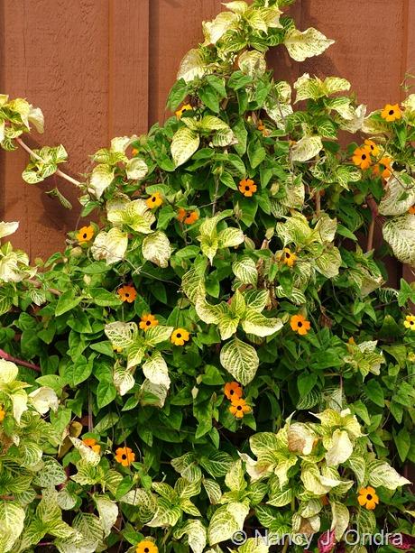 Iresine lindenii 'Formosa' with Thunbergia alata 'Whopper Orange'