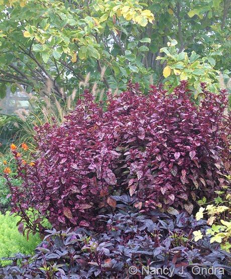 Hypoestes 'Splash Select Red' with Ipomoea batatas 'Sweet Caroline Purple', Pennisetum alopecuroides 'Little Honey', and Hamamelis