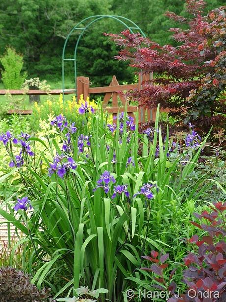 Iris x robusta 'Gerald Darby' May 28 2010