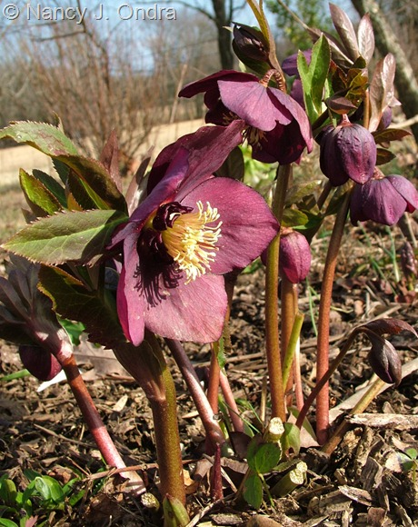 Helleborus x hybridus (deep purple-red with dark nectaries) at Hayefield March 2012