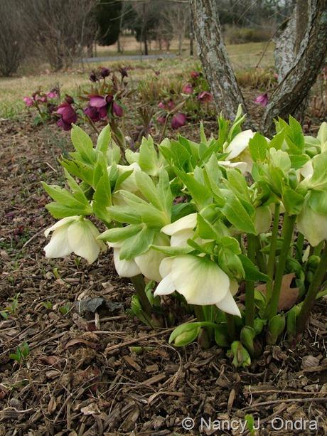 Helleborus x hybridus (white) at Hayefield March 2012