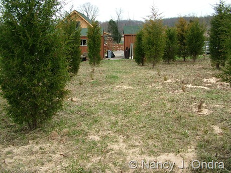 Juniperus virginiana allée in progress at Hayefield April 2011