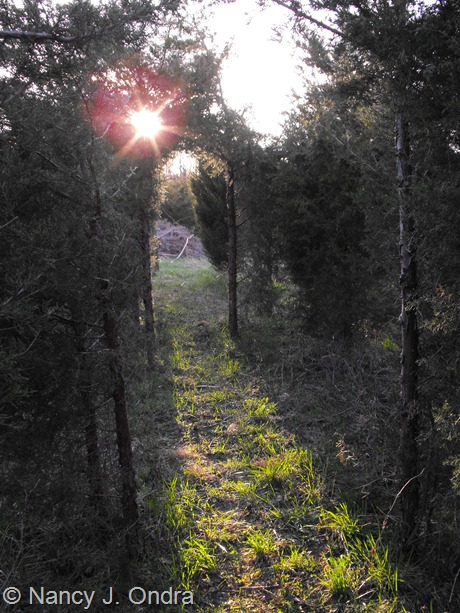 Juniperus virginiana tunnel at Hayefield April 2012