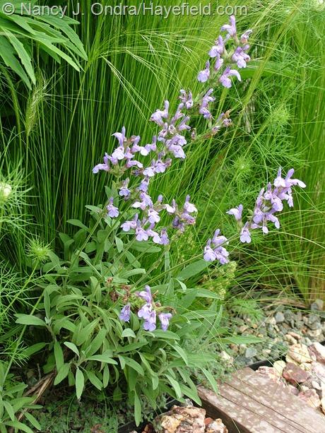 Salvia officinalis 'Nana' at Hayefield
