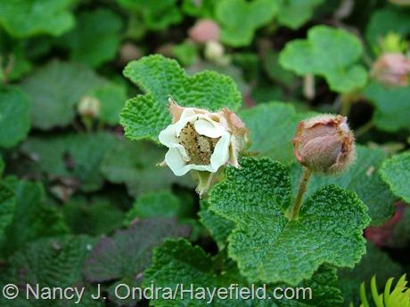 Rubus rolfei (R. pentalobus, R. calycinoides) at Hayefield