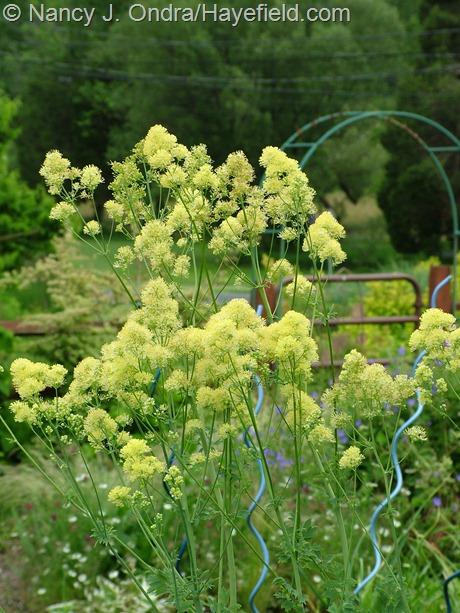 Thalictrum flavum subsp. glaucum at Hayefield
