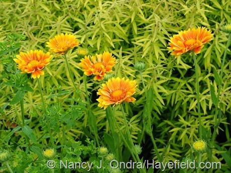 Gaillardia 'Oranges and Lemons' at Hayefield