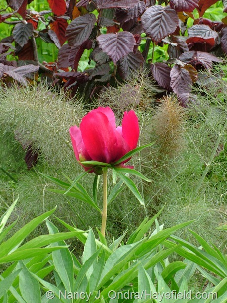 Paeonia with Foeniculum vulgare 'Purpureum' and Corylus avellana 'Red Majestic' at Hayefield