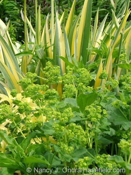 Alchemilla mollis with Iris pallida 'Variegata' at Hayefield