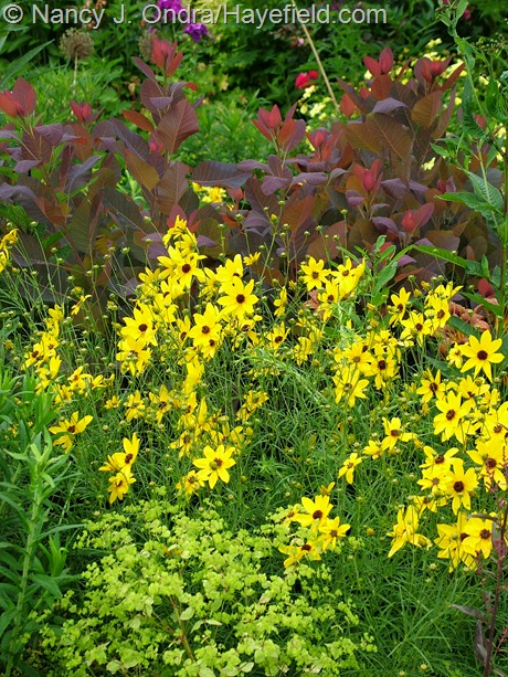Coreopsis tripteris with Cotinus 'Grace' and Euphorbia 'Golden Foam' at Hayefield