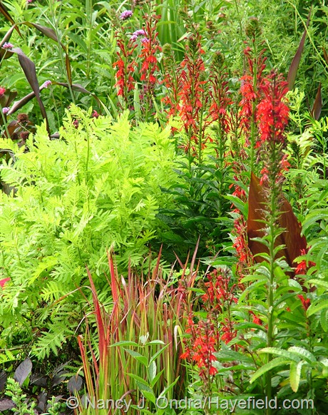 Tanacetum vulgare 'Isla Gold' with cardinal flower (Lobelia cardinalis) and Japanese blood grass (Imperata cylindrica 'Rubra') at Hayefield