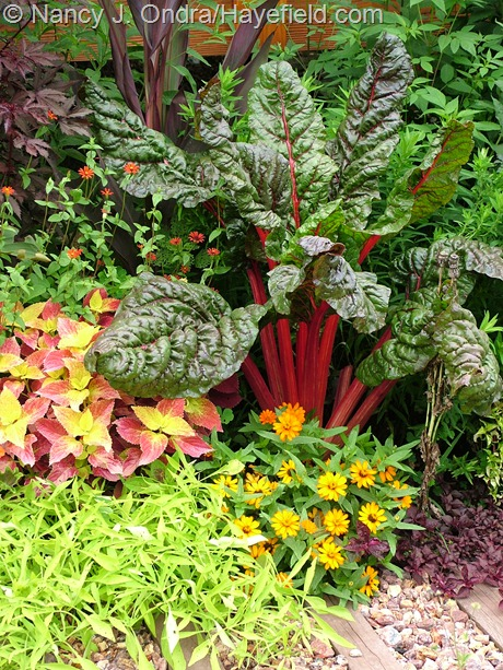 Chard 'Bright Lights' with 'Profusion Orange' zinnia, 'Emerald Lace' sweet potato vine, 'Bellingrath Pink' coleus, and 'Red Spider' zinnia at Hayefield