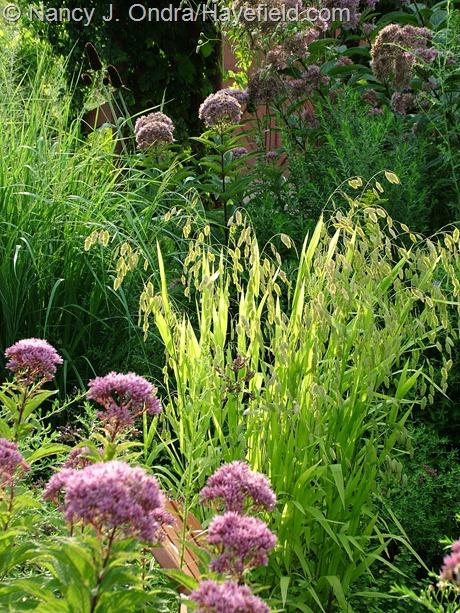 Joe-Pye weeds (Eutrochium/Eupatorium) with northern sea oats (Chasmanthium latifolium) at Hayefield