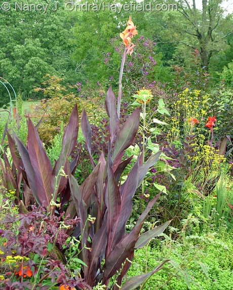 Canna 'Intrigue' at Hayefield