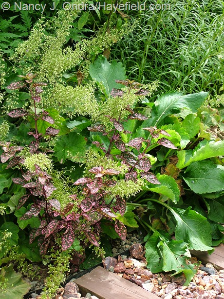 'Splash Select Pink' polka-dot plant (Hypoestes phyllostachys) with 'Autumn Bride' hairy alumroot (Heuchera villosa) at Hayefield
