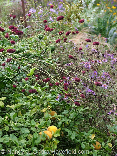 'Dali Marble' burnet (Sanguisorba menziesii) with 'Flying Dragon' hardy orange (Poncirus trifoliata) and New England aster at Hayefield
