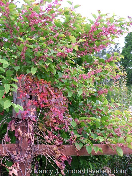 'Crimson Beauty' fleeceflower (Persicaria) with fall-colored Virginia creeper (Parthenocissus quinquefolia) at Hayefield