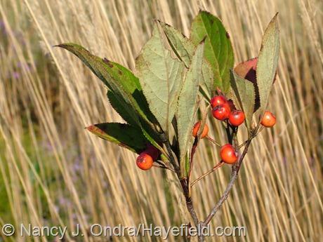 Aronia arbutifolia, a.k.a. Photinia pyrifolia at Hayefield