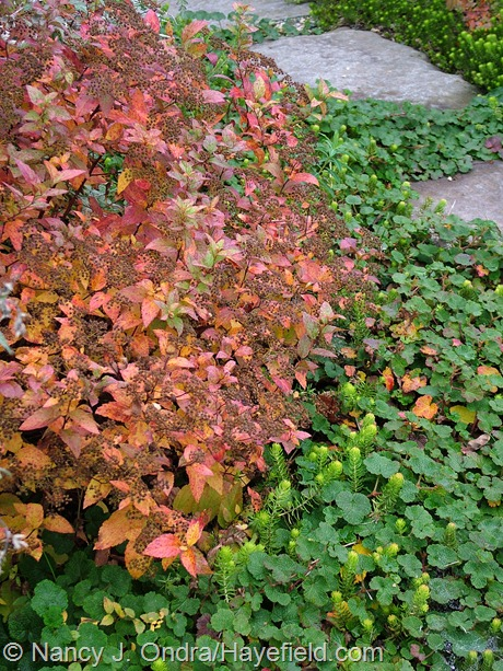 Dakota Goldcharm spirea (Spiraea japonica 'Mertyann') with 'Angelina' sedum (Sedum rupestre) and creeping bramble (Rubus rolfei) at Hayefield