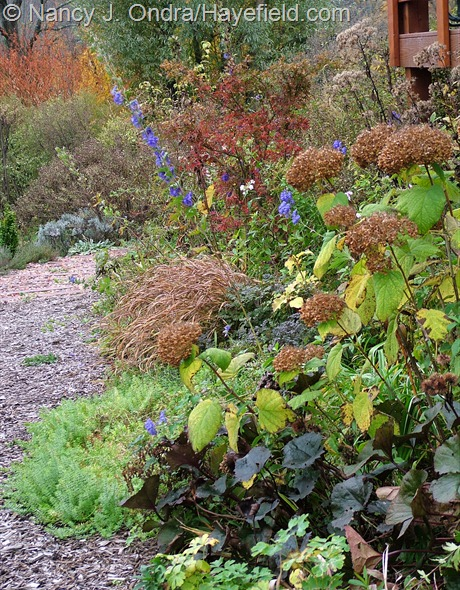 Ligularia 'Britt-Marie Crawford', Hydrangea arborescens, Hakonechloa macra 'Aureola', Acer palmatum, and Aconitum carmichaelii at Hayefield