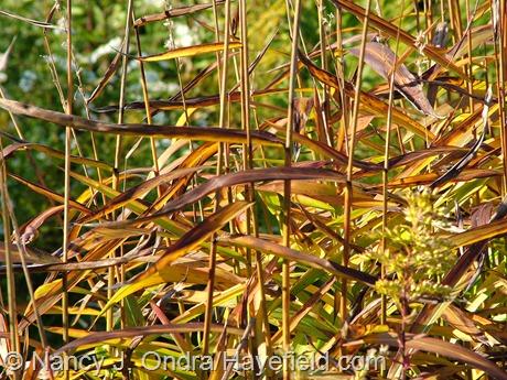 Spodiopogon sibiricus fall foliage at Hayefield