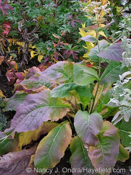 Parthenium integrifolium fall color at Hayefield