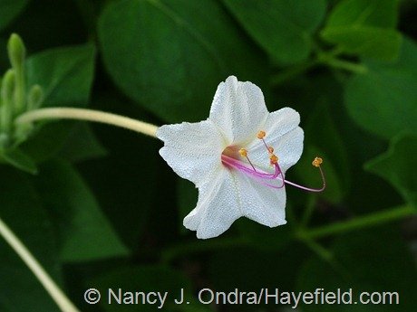 Mirabilis longiflora at Hayefield