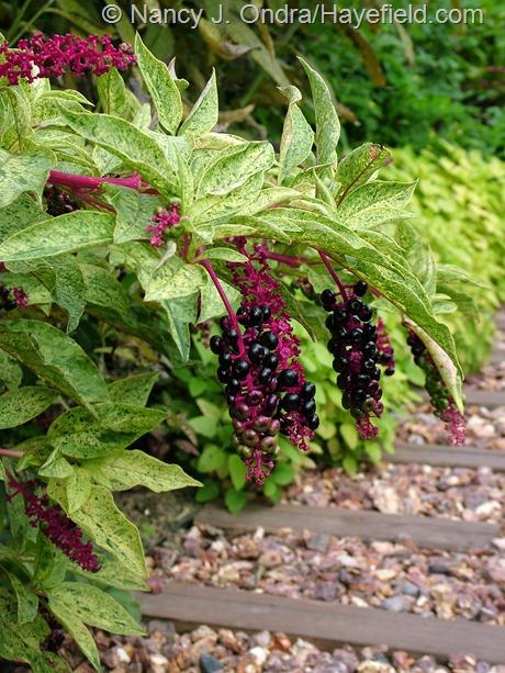 Phytolacca americana 'Silberstein' (variegated pokeweed): at Hayefield