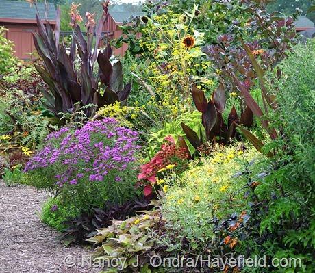Vernonia lettermannii in the front garden at Hayefield