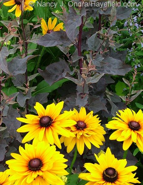 Atriplex hortensis 'Rubra' with Rudbeckia hirta at Hayefield