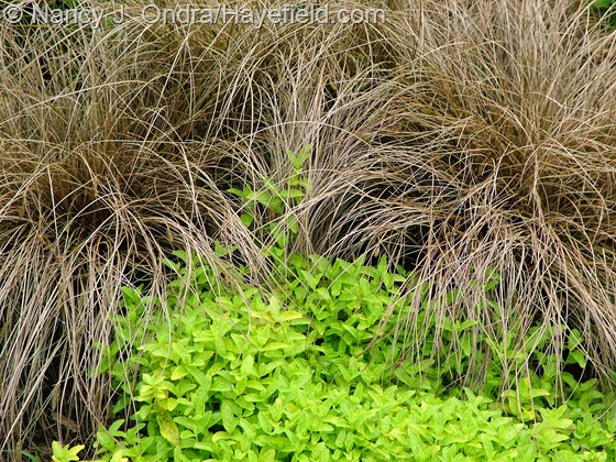 Carex flagillifera 'Toffee Twist' with Veronica prostrata 'Aztec Gold' at Hayefield