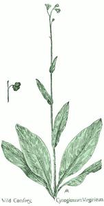 Cynoglossum virginicum