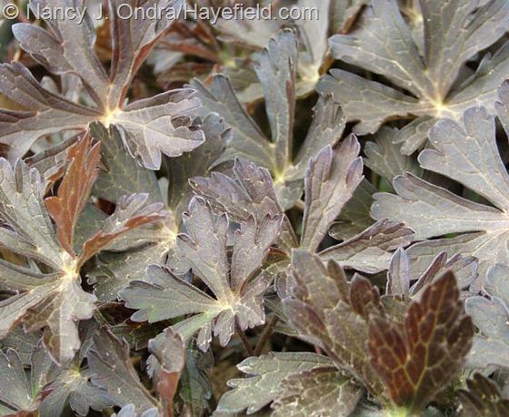Geranium maculatum 'Espresso' at Hayefield