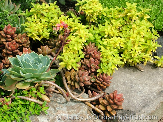xGraptosedum 'Bronze' with Echeveria glauca and Veronica prostrata 'Aztec Gold' at Hayefield